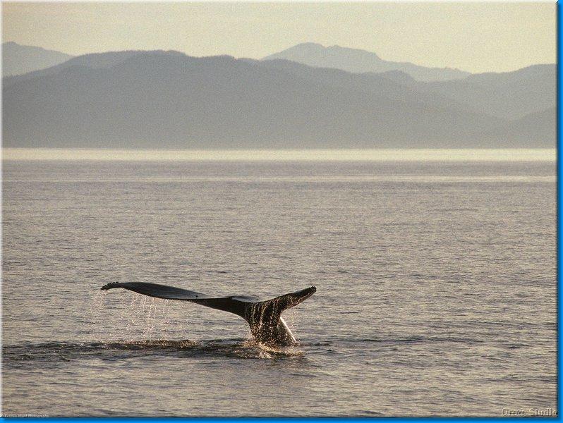 К чему снится хвост кита